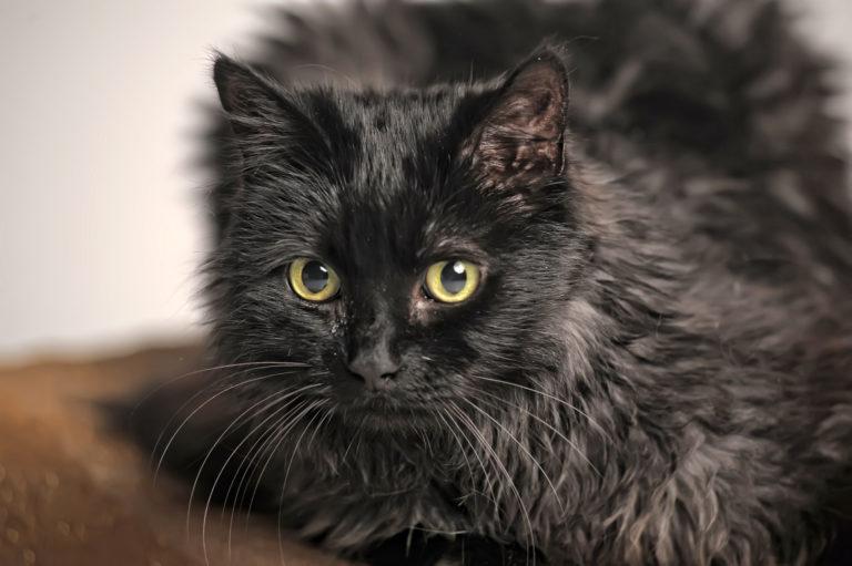 Os Chantilly-Tiffany são gatos inteligentes e curiosos