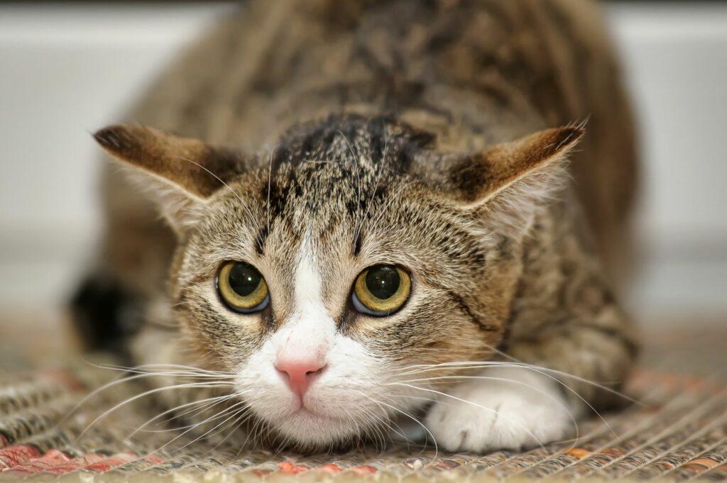 As dores no gatos devem ser tratadas adequadamente e de forma precoce para evitar que se tornem crónicas