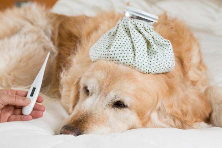 A febre nos cães é um sintoma de uma doença ou problema de saúde