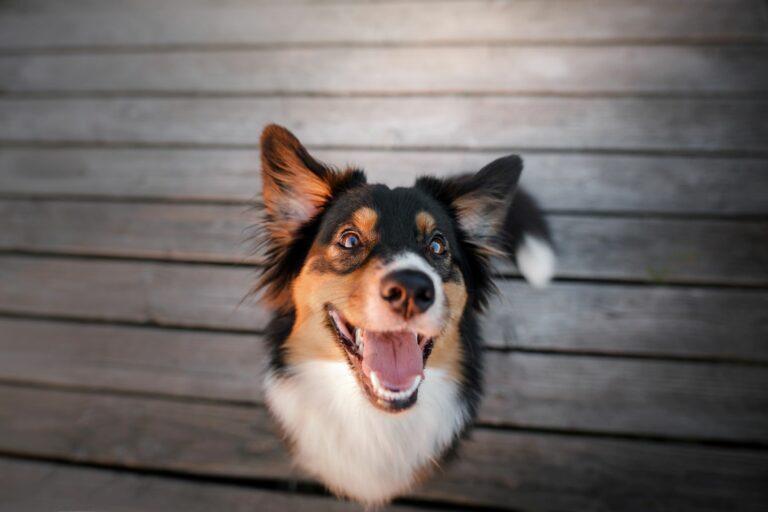 Cão a olhar para cima de boca aberta. O mau hálito dos cães pode ser muito desagradável para os donos