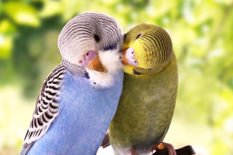 A socialização dos periquitos é essencial para que vivam felizes
