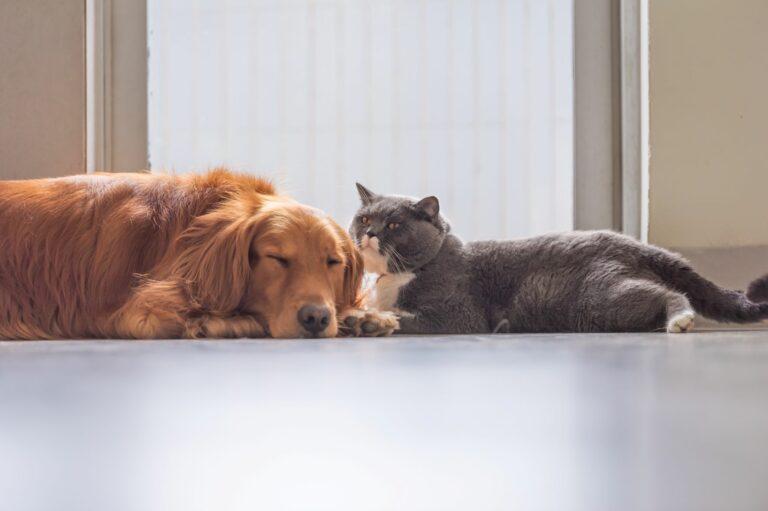 Os gatos são os hospedeiros principais do parasita da toxoplasmose e por isso podem transmitir a doença aos cães