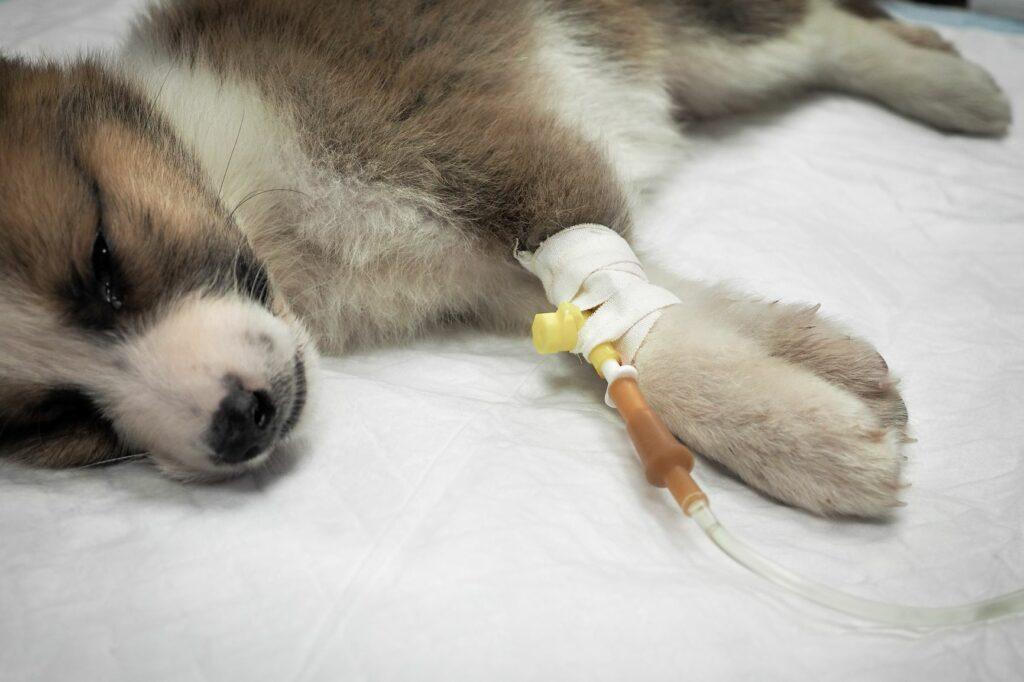O tratamento de casos de envenenamento nos cães implica que os patudos devem ficar alguns dias internados