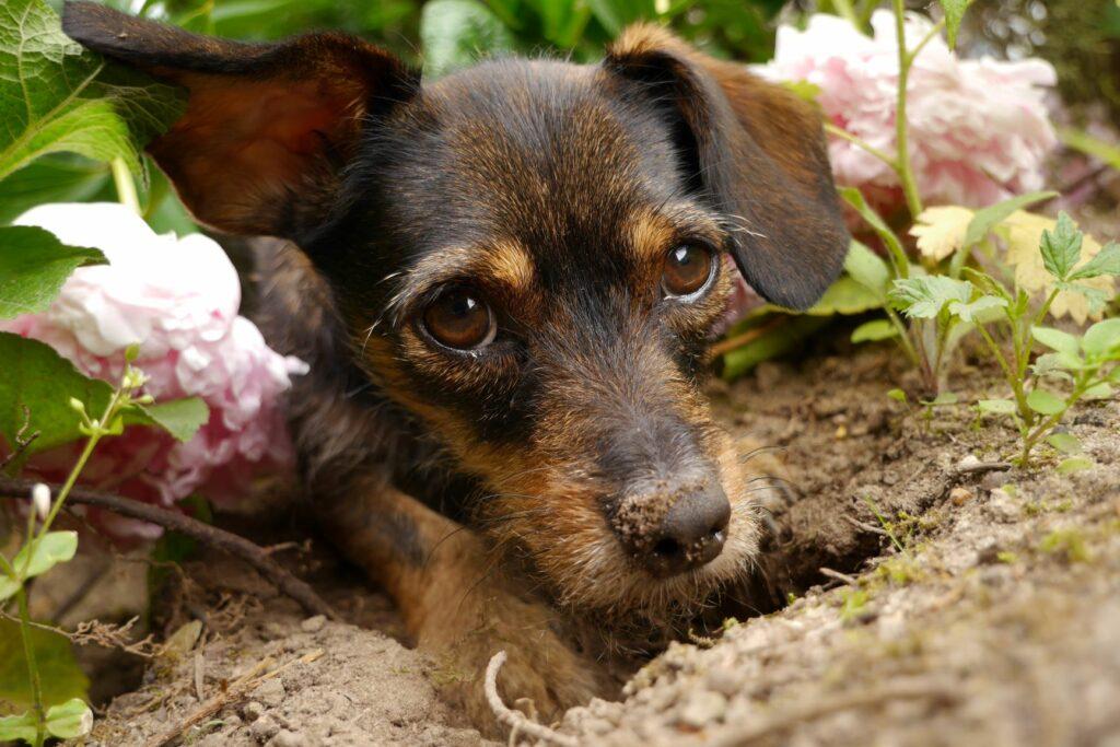 Um cão esvava o jardim e faz um buraco.