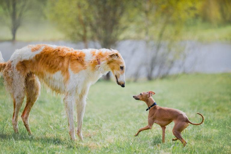cão grande ou pequeno