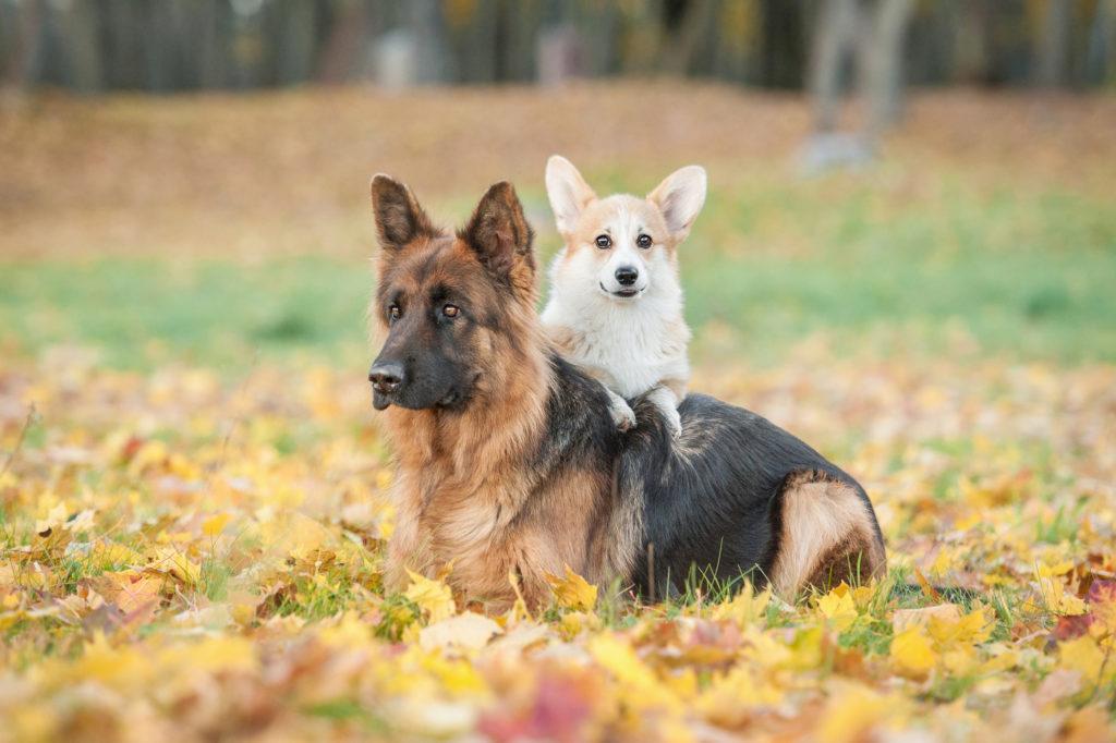 cão pequeno ou cão grande