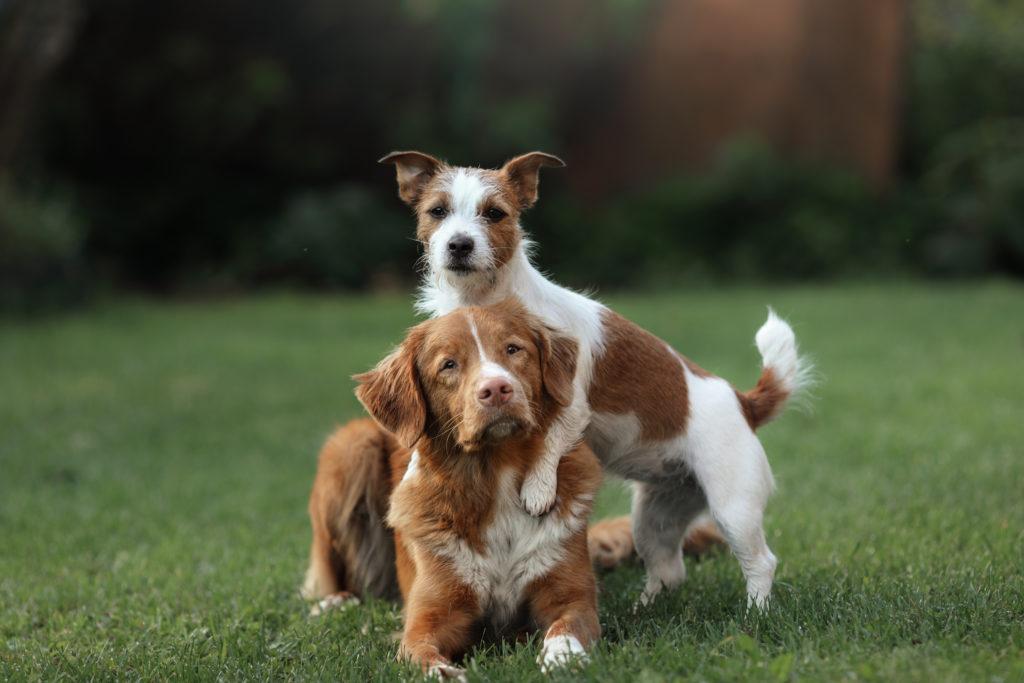 cão pequeno ou grande