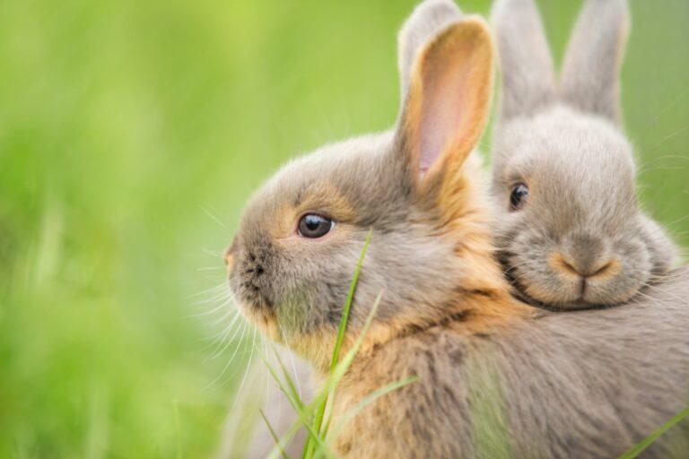 Dois coelhos encostados um ao outro no meio da relva. Existem muitas diferenças entre lebres e coelhos