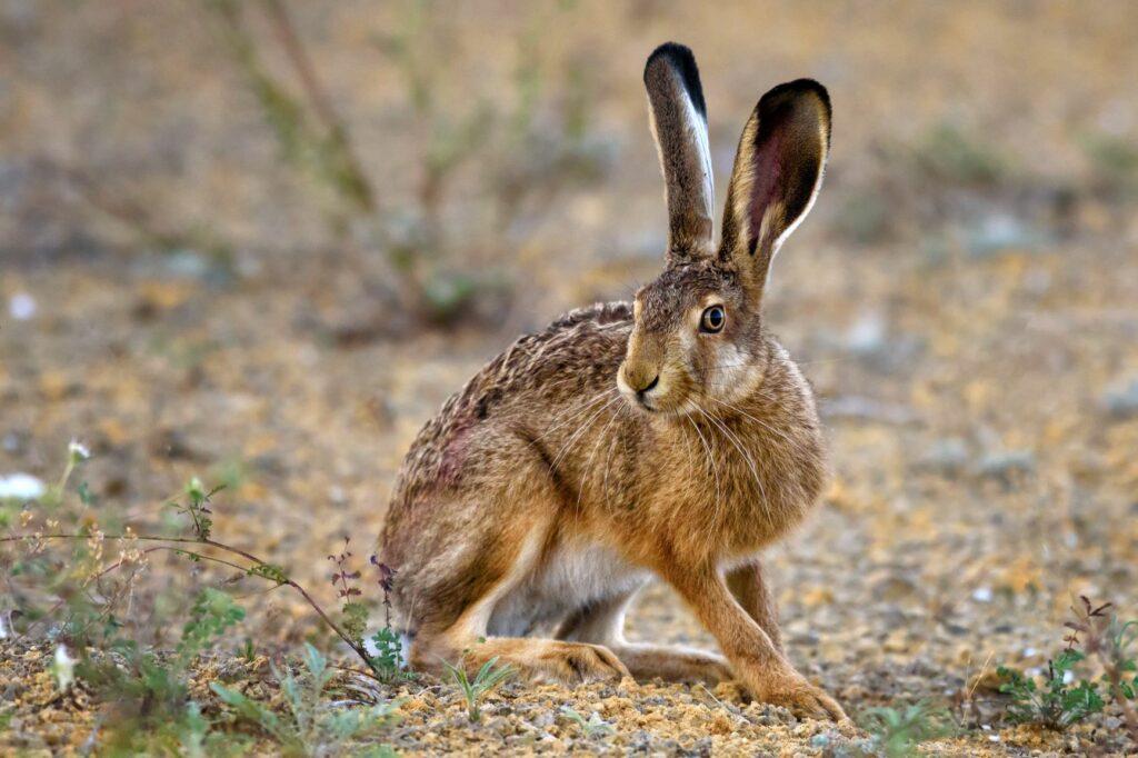 Uma lebre no campo. É fácil diferenciar as lebres e coelhos por causa do tamanho das orelhas