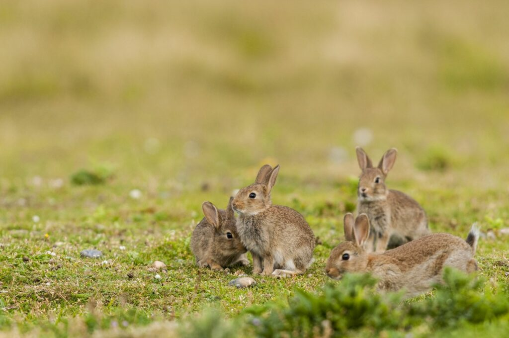 Um grupo de pequenos coelhos num campo. Lebres e coelhos diferem no comportamento social