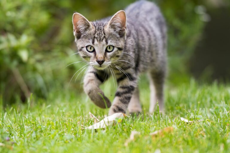Gato a passear num relvado. Os gatos que saem à rua sozinhos têm que lidar com vários perigos