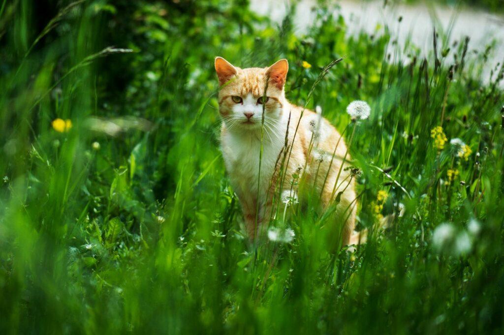 Gato sentado no meio da relva. Os gatos que saem à rua sozinhos desde sempre não devem ficar presos em casa