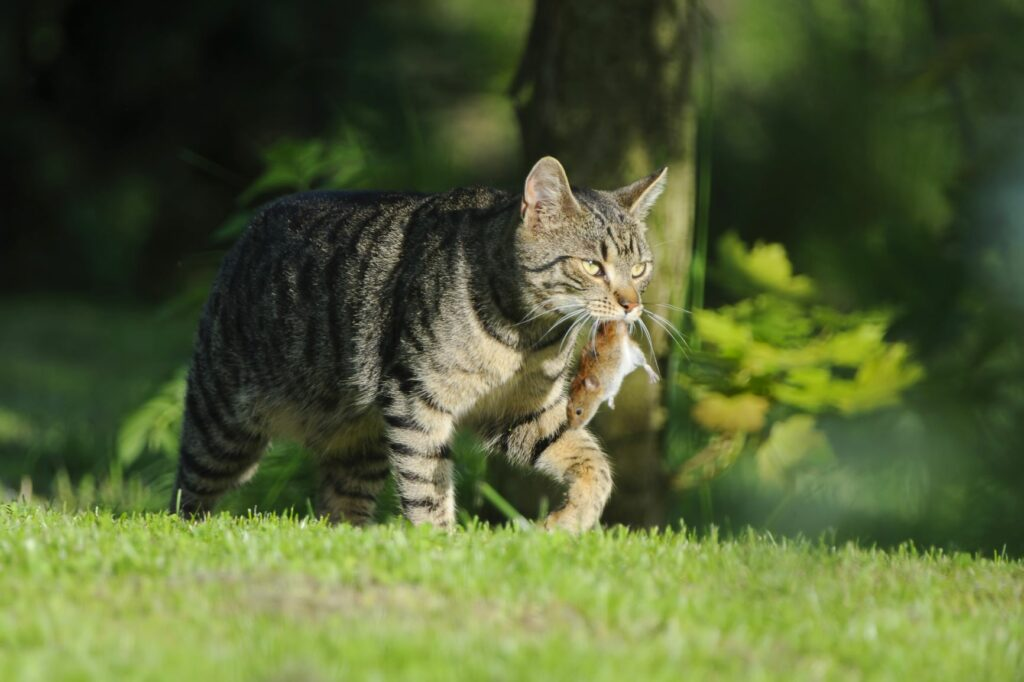 Gato com um rato na boca. Os gatos que saem à rua costumam caçar e os ratos são uma presa frequente