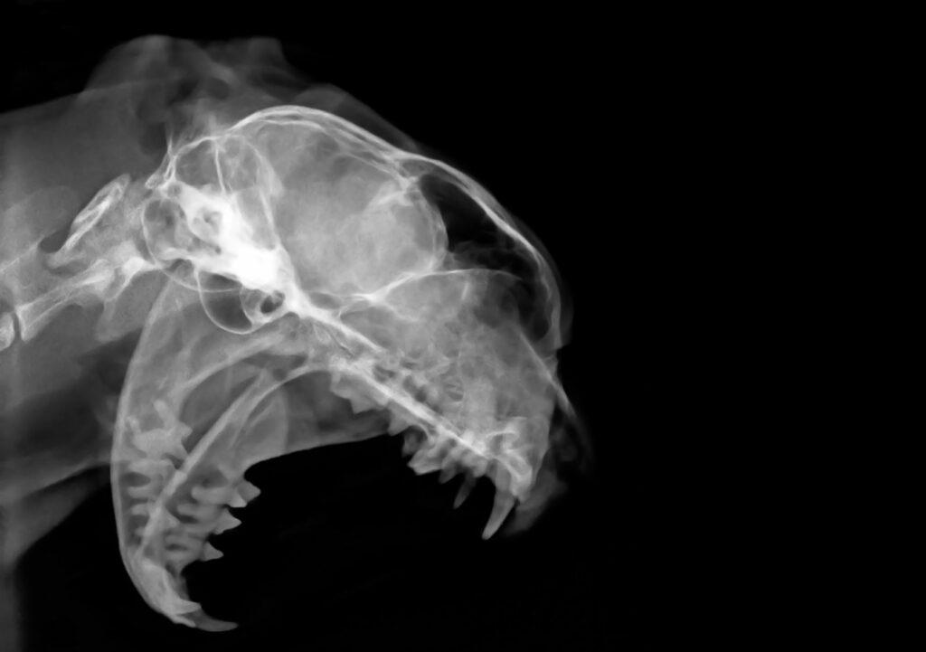 Raio X da boca de um gato. Este exame é fundamental para diagnosticar lesões por reabsorção dentária em gatos.