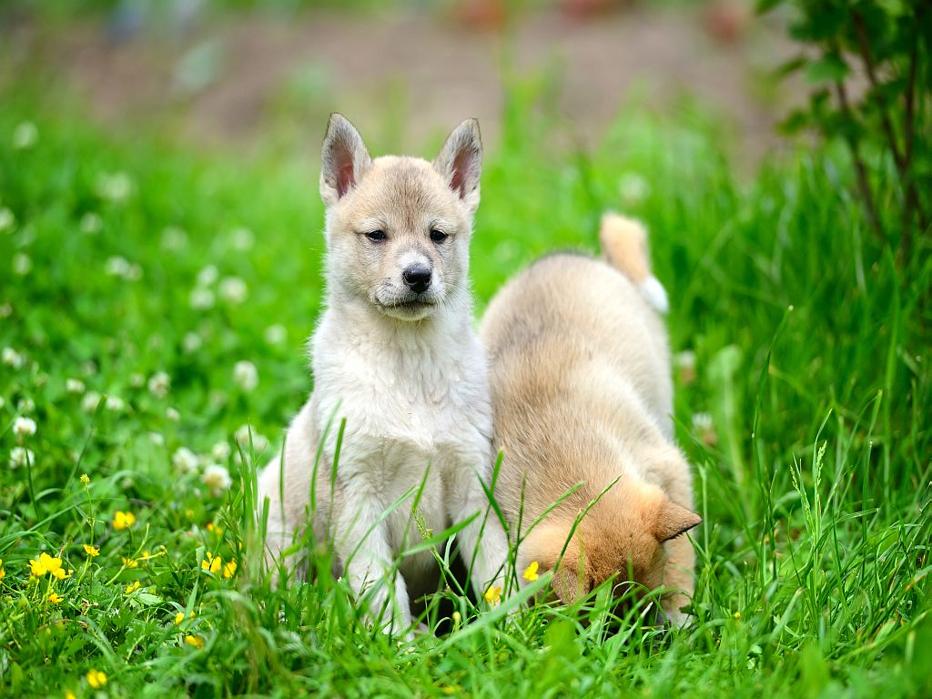 Dois cachorros Laika da Sibéria Ocidental na relva.