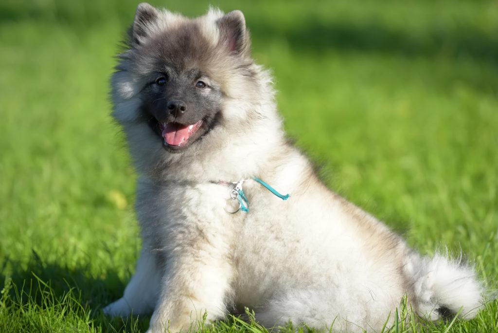 Spitz Lobo cachorro sentado na relva