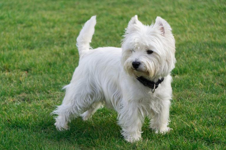 West Highland White Terrier em pé na relva com ar atento