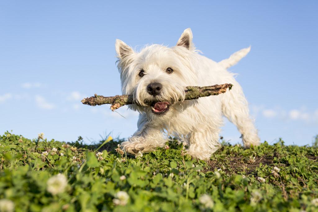 West Highland White Terrier a brincar com um pau na natureza