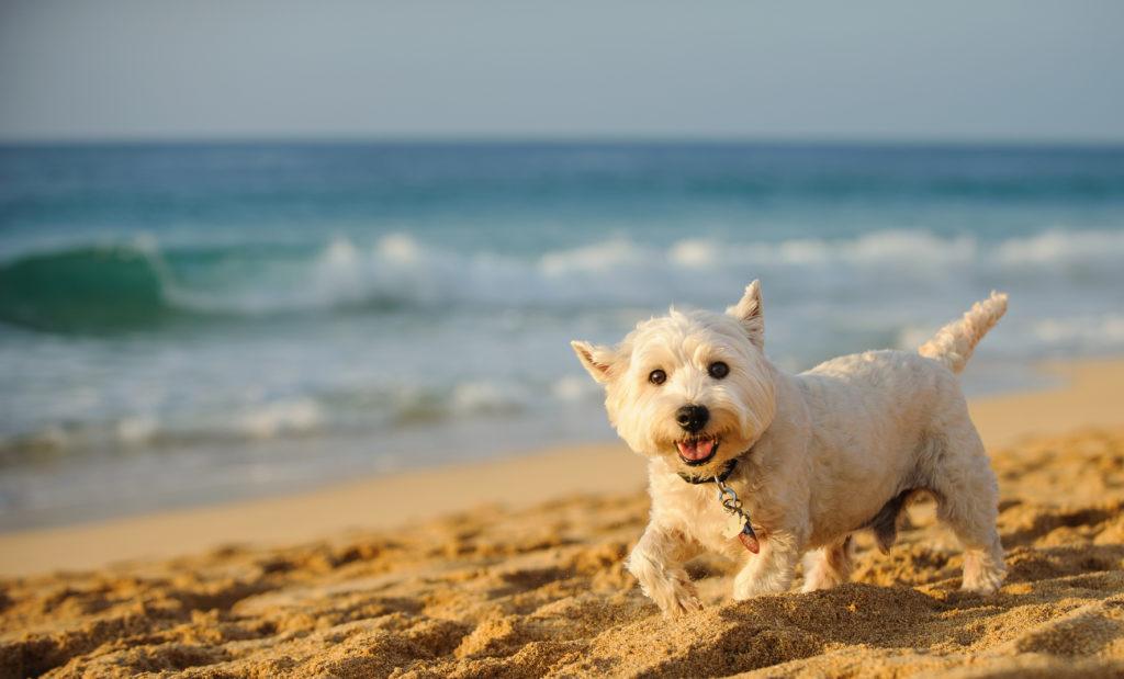 West Highland White Terrier a correr na praia