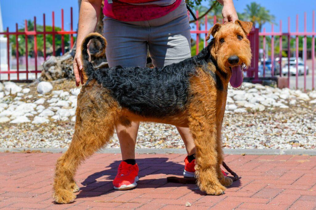 Airedale Terrier em parado com o dono