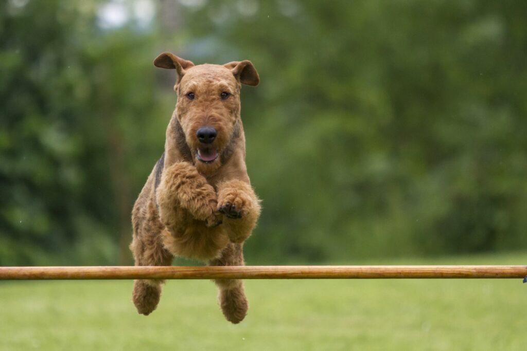 Airedale Terrier a saltar uma barreira num campo