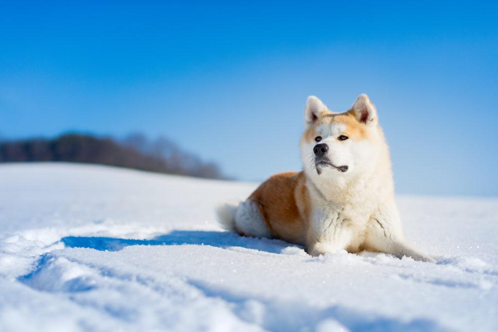 Akita adulto deitado na neve