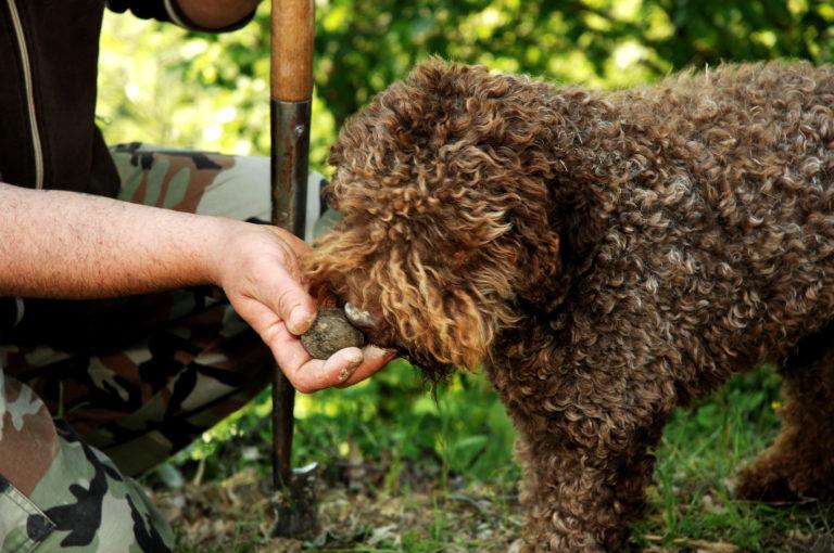 cães caçadores de trufas