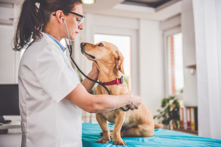 Cão sentado enquanto a veterinária ausculta o coração. No caso da Doença de Addison em cães também é preciso fazer um exame geral