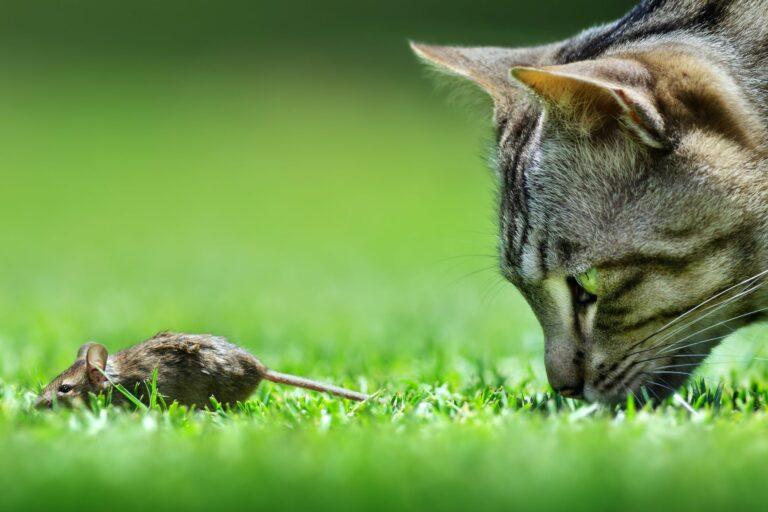 Gato a perseguir um rato. A desparasitação interna nos gatos é importante porque os gatos ingerem parasitas com as presas que caçam.