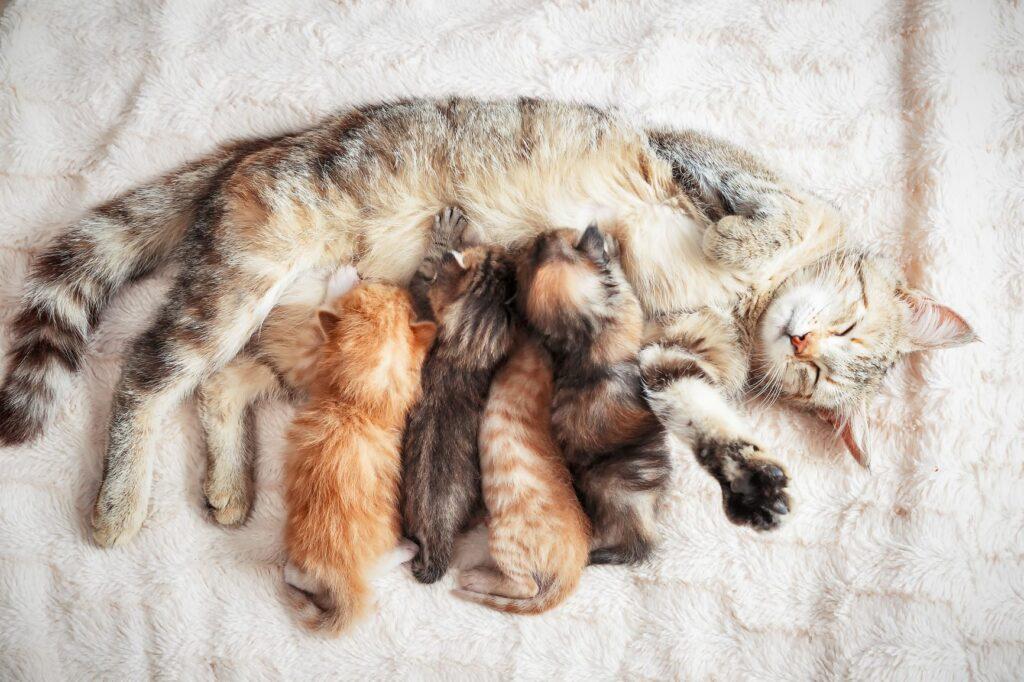 Gatinhos a mamar. A desparasitação interna nos gatos bebé é importante porque o leite materno pode conter parasitas