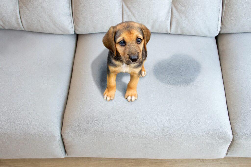 cachorro no sofá e mancha de urina de cão