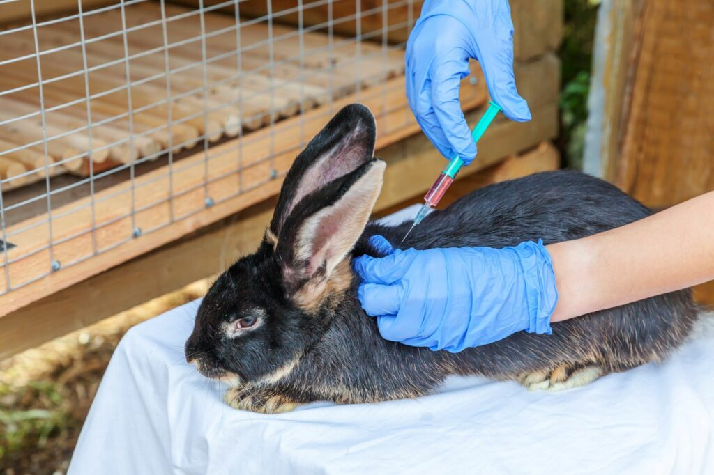 vacinação dos coelhos_coelho preto a ser vacinado
