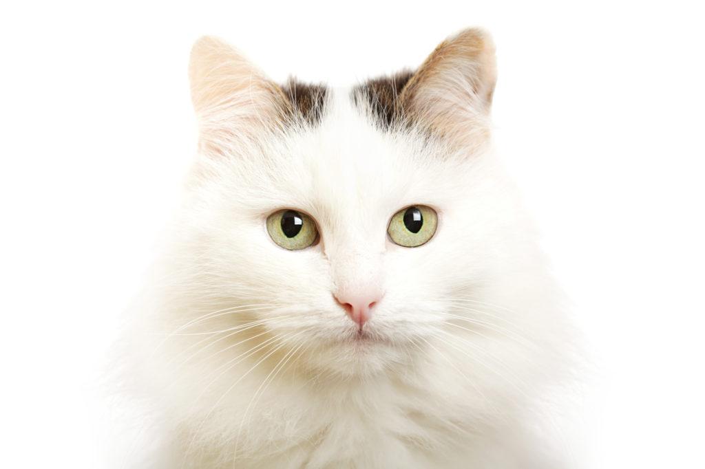 grande plano de focinho gato van turco