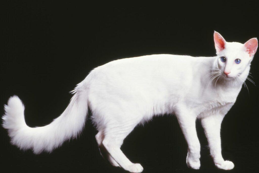 Gato Javanês branco com fundo preto
