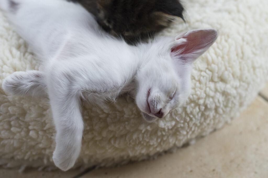 Gato Javanês deitado numa almofada a dormir