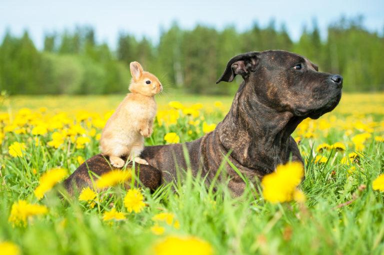 American staffordshire terrier com pequeno coelho no dorso_convivência entre cães e roedores
