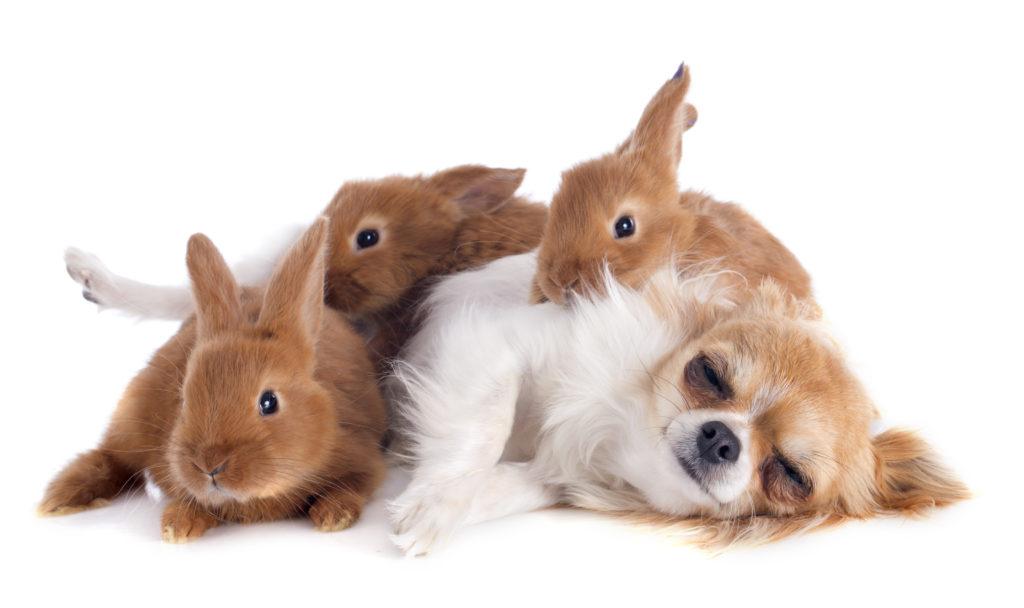 chihuahua e vários coelhos deitados