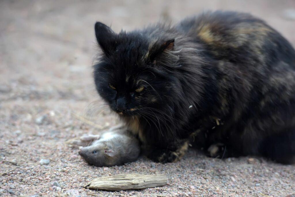 Gato preto com rato morto perto das patas. Os roedores mortos podem causar envenenamento nos gatos se tiverem ingerido o produto tóxico