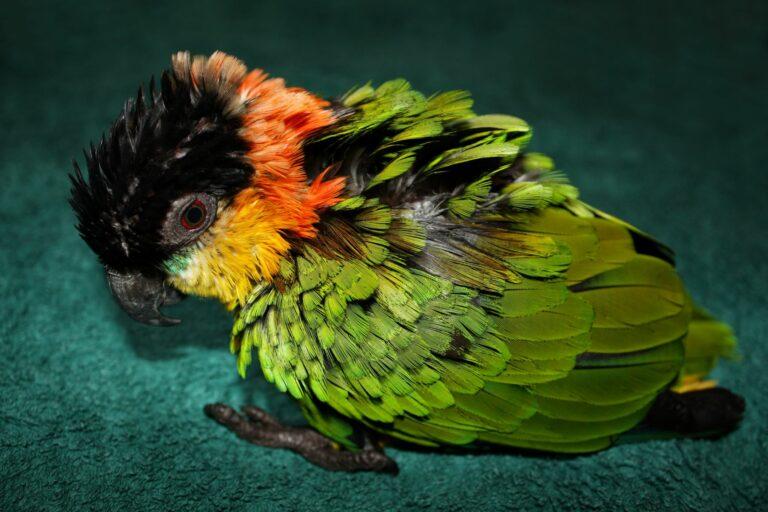 Papagaio com penas doentes. Alterações nas penas é um dos sintomas principais da febre dos papagaios.