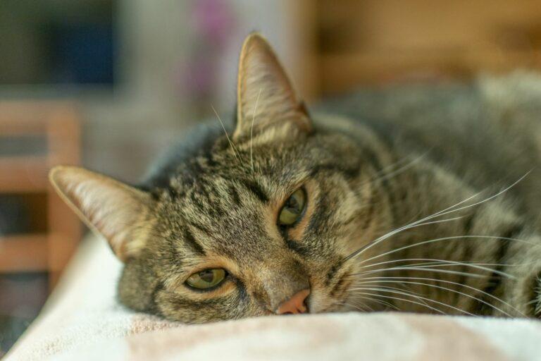 Gato deitado em cima de um cobertor no sofá. A gastrite nos gatos provoca cansaço e apatia