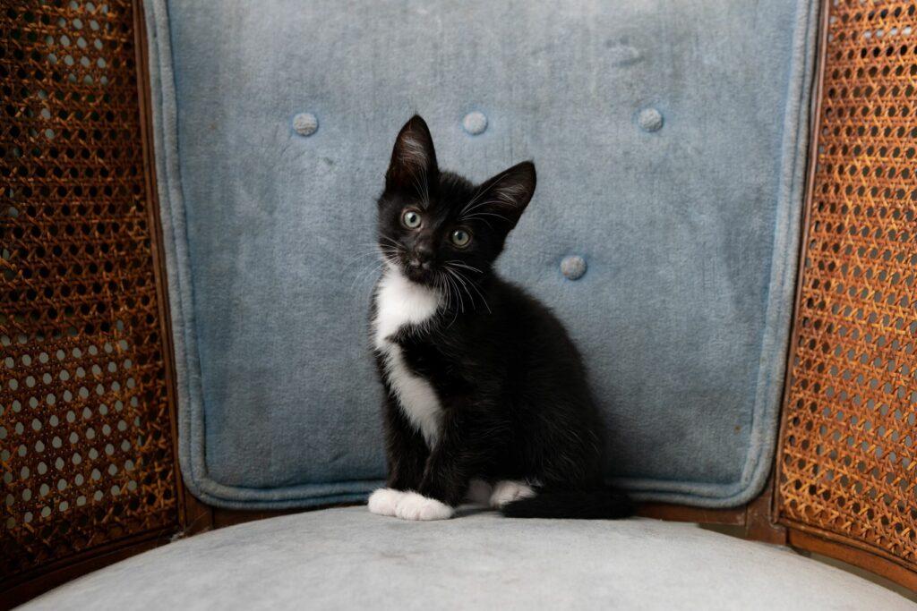 gato tuxedo bebé em cima de cadeira
