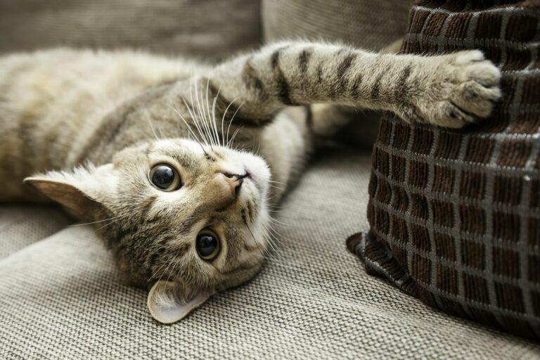 Gato deitado no sofá com uma almofada. Com alguns cuidados, os gatos de apartamento vivem felizes toda a vida