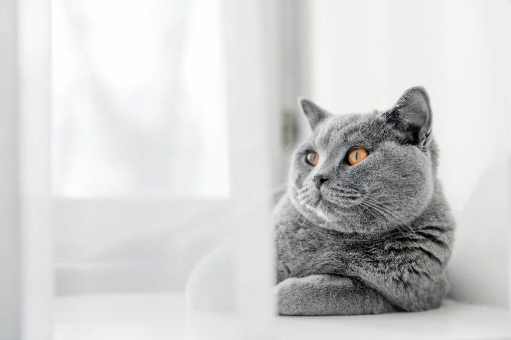 British Shorthair deitado junto à janela. Os British Shorthair são excelentes gatos de apartamento