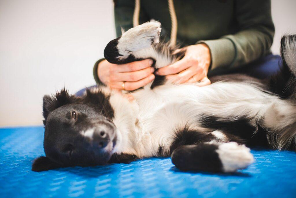 cão deitado de lado a ser massajado
