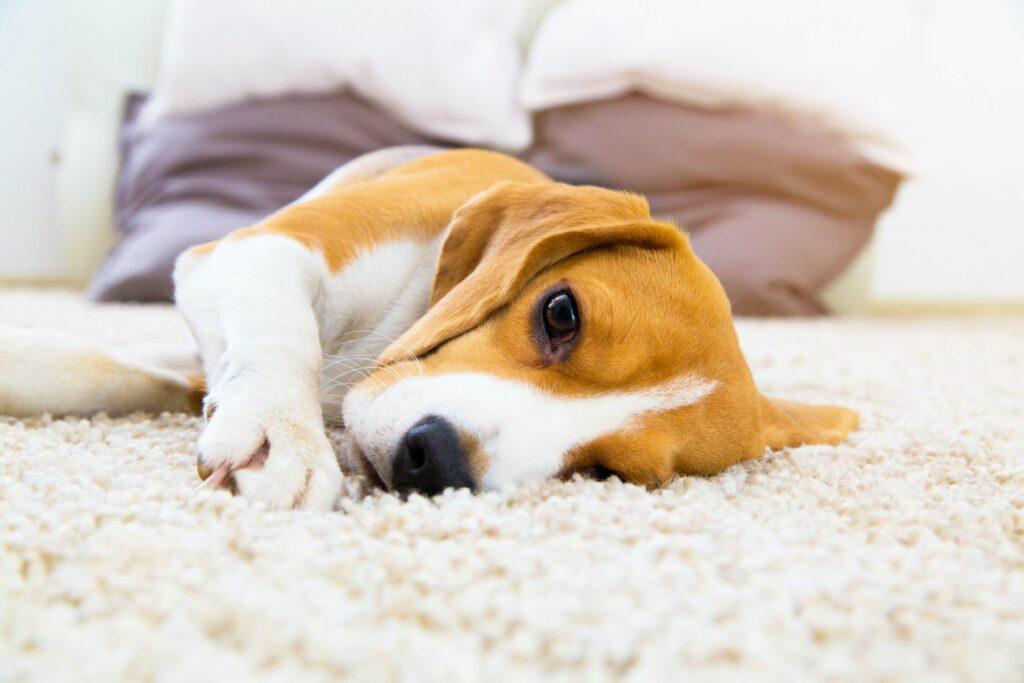 cão deitado num tapete. O envenenamento por xilitol nos cães provoca mal estar generalizado.